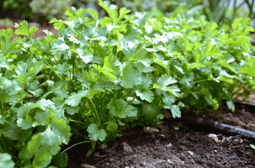 How To Grow Cilantro In A Pot or In Your Garden