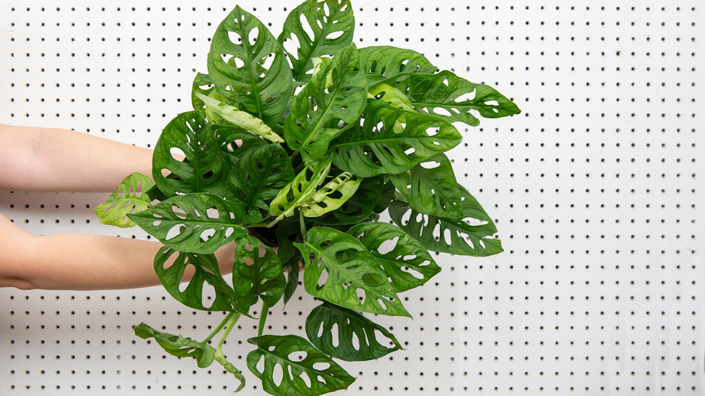 Monstera Adansonii: How to Plant, Care and Grow Your Swiss Cheese Plant