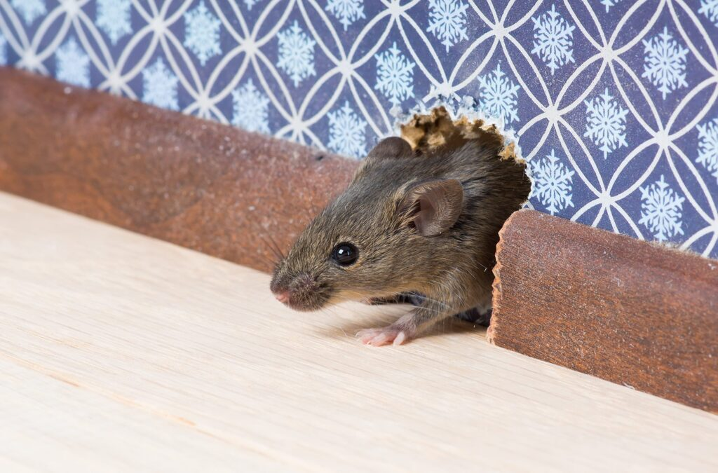 6 Tips to Spot a Rodent Infestation